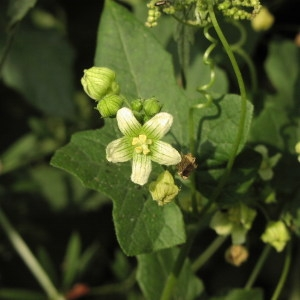 Photographie n°722985 du taxon Bryonia cretica subsp. dioica (Jacq.) Tutin [1968]