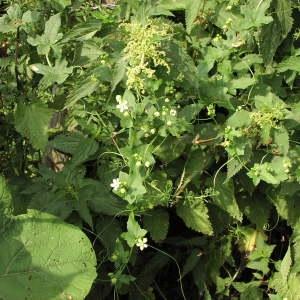 Photographie n°722986 du taxon Bryonia cretica subsp. dioica (Jacq.) Tutin [1968]