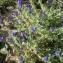 Liliane Roubaudi - Echium vulgare proles pustulatum (Sm.) Rouy [1908]