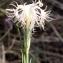 Liliane Roubaudi - Dianthus hyssopifolius L. [1755]