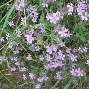 Photographie n°723427 du taxon Saponaria ocymoides L.