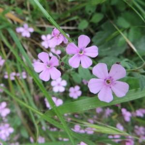 Photographie n°723428 du taxon Saponaria ocymoides L.