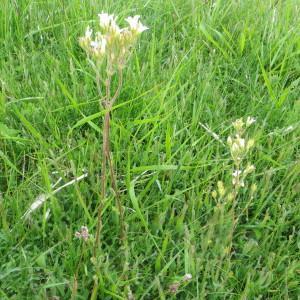 Photographie n°723690 du taxon Saxifraga granulata L.