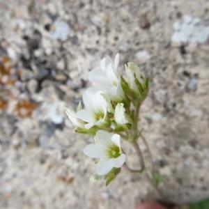 Photographie n°723691 du taxon Saxifraga granulata L.