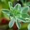 Ans Gorter - Lotus creticus L.