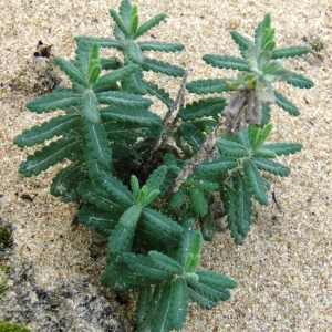 Photographie n°723755 du taxon Teucrium L.