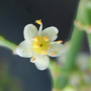 Photographie n°723825 du taxon Schinus molle L.