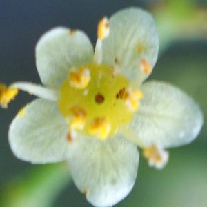 Photographie n°723827 du taxon Schinus molle L.