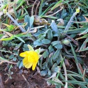 Photographie n°724070 du taxon Ranunculus L. [1753]