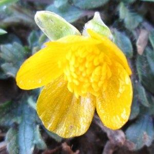 Photographie n°724071 du taxon Ranunculus L. [1753]