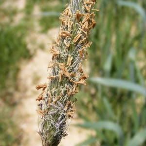 Photographie n°724177 du taxon Alopecurus pratensis L.
