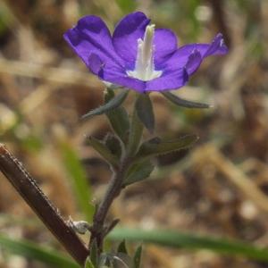Photographie n°725232 du taxon Legousia speculum-veneris (L.) Chaix