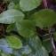 Thibaut Suisse - Campanula rapunculus L.