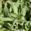Thibaut Suisse - Silene vulgaris (Moench) Garcke [1869]