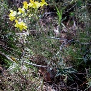 Photographie n°725583 du taxon Helianthemum Hill