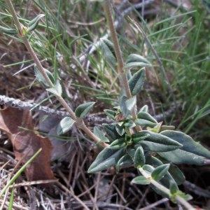 Photographie n°725584 du taxon Helianthemum Hill