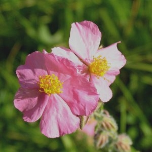 Photographie n°725589 du taxon Helianthemum nummularium var. roseum (Willk.) G.López [1992]