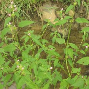 Photographie n°725673 du taxon Galeopsis tetrahit L.