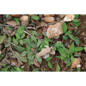 Sonchus bulbosus (L.) N.Kilian & Greuter subsp. bulbosus (Crépis bulbeux)