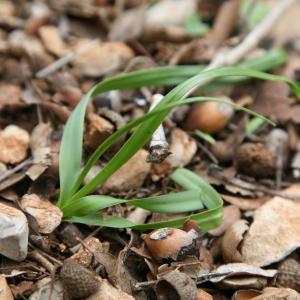 - Allium roseum subsp. roseum