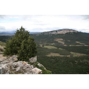 Juniperus phoenicea L. subsp. phoenicea (Genévrier de Lycie)