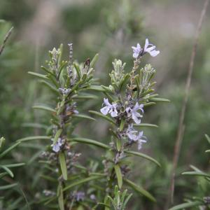 Photographie n°725732 du taxon Rosmarinus officinalis subsp. officinalis