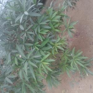 Photographie n°726120 du taxon Nerium oleander L. [1753]
