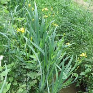 Photographie n°726587 du taxon Iris pseudacorus L. [1753]