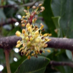 Photographie n°726764 du taxon Ceratonia siliqua L.