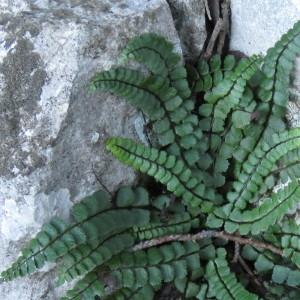 Photographie n°726885 du taxon Asplenium trichomanes subsp. pachyrachis (H.Christ) Lovis & Reichst. [1980]