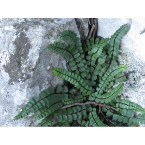 Asplenium trichomanes subsp. pachyrachis (H.Christ) Lovis & Reichst. (Capillaire à pétioles épais)