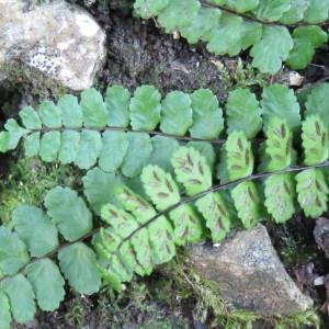 Photographie n°726887 du taxon Asplenium trichomanes subsp. pachyrachis (H.Christ) Lovis & Reichst. [1980]