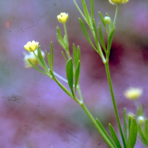 Photographie n°727045 du taxon Ranunculus arvensis L. [1753]