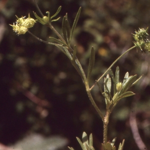Photographie n°727046 du taxon Ranunculus arvensis L. [1753]