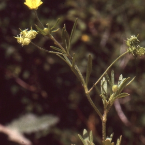 Photographie n°727048 du taxon Ranunculus arvensis L. [1753]