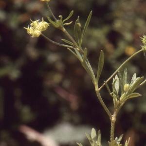Photographie n°727050 du taxon Ranunculus arvensis L. [1753]