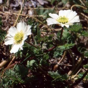 Photographie n°727143 du taxon Callianthemum coriandrifolium subsp. berardi (Vill.) P.Fourn. [1936]