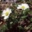 Liliane Roubaudi - Callianthemum coriandrifolium subsp. berardi (Vill.) P.Fourn. [1936]