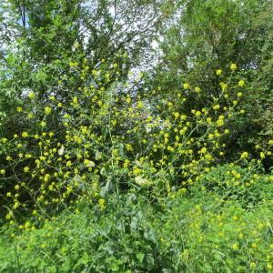 Photographie n°727526 du taxon Barbarea vulgaris W.T.Aiton