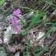 Marie-France Petibon - Lathyrus linifolius f. linifolius
