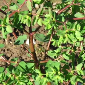 Photographie n°728499 du taxon Euphorbia peplus L. [1753]