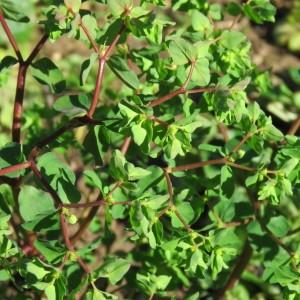 Photographie n°728501 du taxon Euphorbia peplus L. [1753]