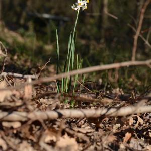 Photographie n°728536 du taxon Narcissus tazetta L.