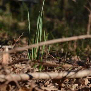 Photographie n°728537 du taxon Narcissus tazetta L.