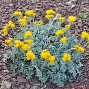 Photographie n°728814 du taxon Jacobaea persoonii (De Not.) Pelser [2006]