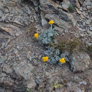 Photographie n°728819 du taxon Jacobaea persoonii (De Not.) Pelser [2006]