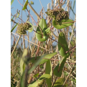 Bupleurum lancifolium Hornem. (Buplèvre)