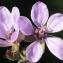Liliane Roubaudi - Erodium cicutarium (L.) L'Hér.