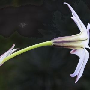 Photographie n°729730 du taxon Tristagma uniflorum (Lindl.) Traub