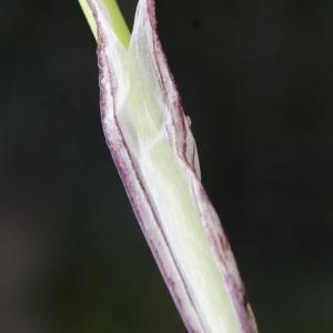 Photographie n°729732 du taxon Tristagma uniflorum (Lindl.) Traub
